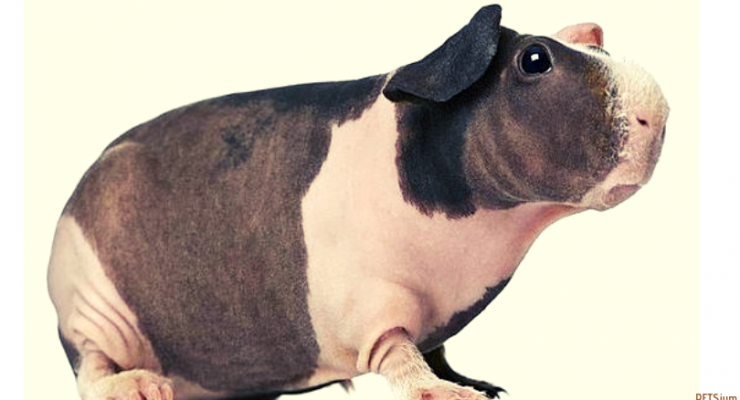 how do you take care of a skinny pig