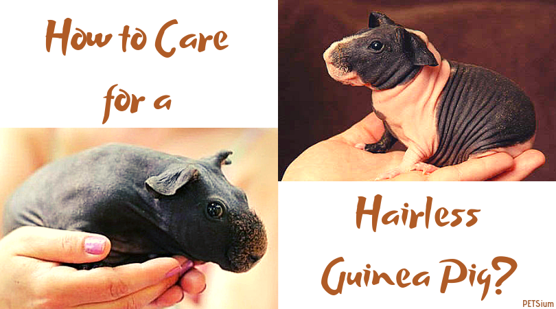 how to care for a hairless guinea pig