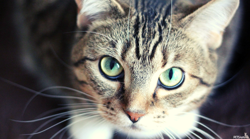 symptoms roundworm infection in cats
