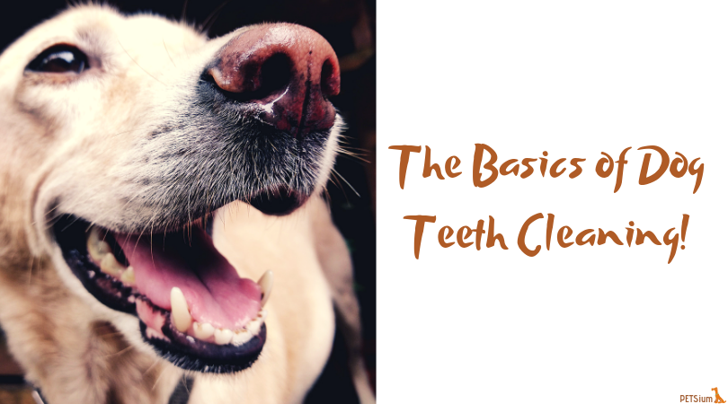 the basics of dog teeth cleaning