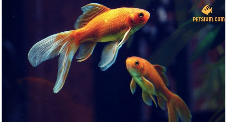 best tips for choose a healthy goldfish