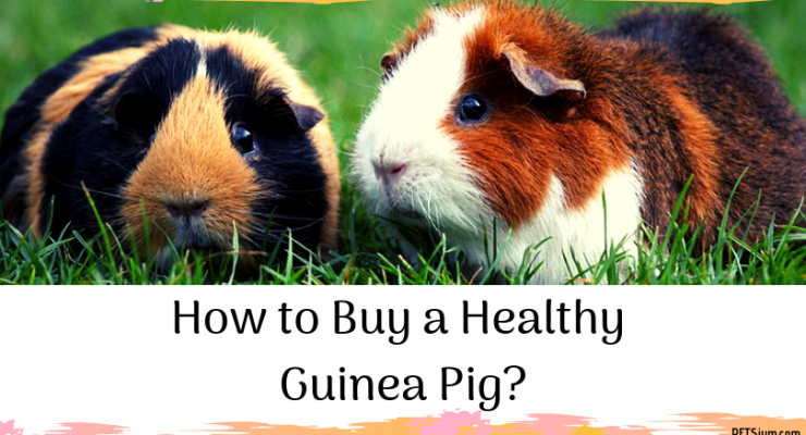 buying guinea pigs guide for beginners