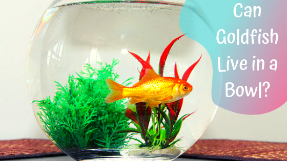 can goldfish live in a bowl