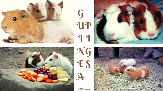 can you introduce new guinea pigs to old ones