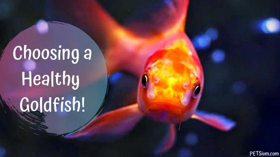choosing a healthy goldfish