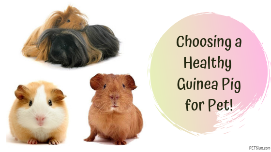 choosing a healthy guinea pig for pet