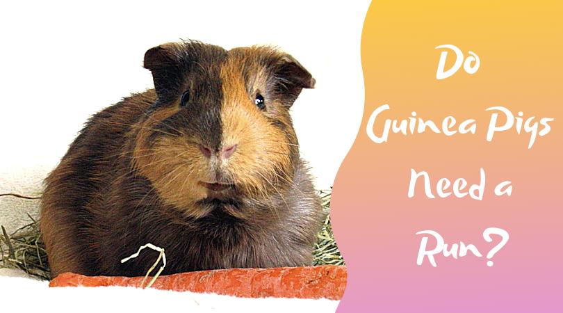 do guinea pigs need a run