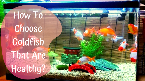 how to choose goldfish that are healthy