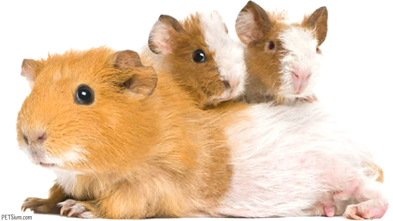 how to deal with a pregnant guinea pig