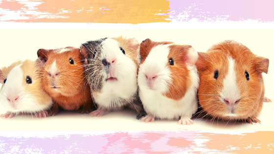 Exercise for guinea pigs