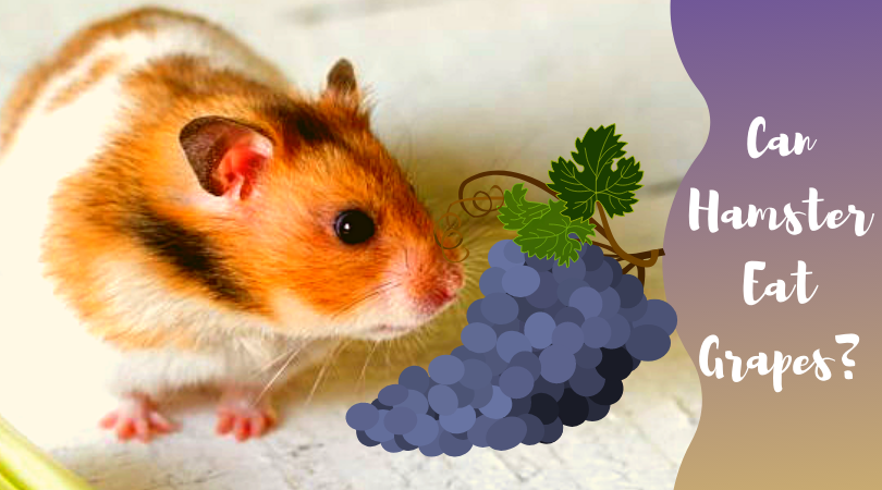 do hamster eat grapes