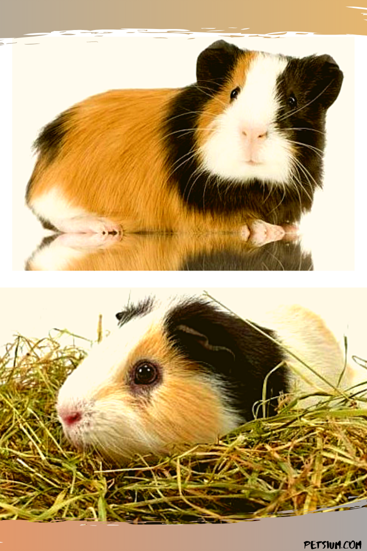 guinea pig names for both genders