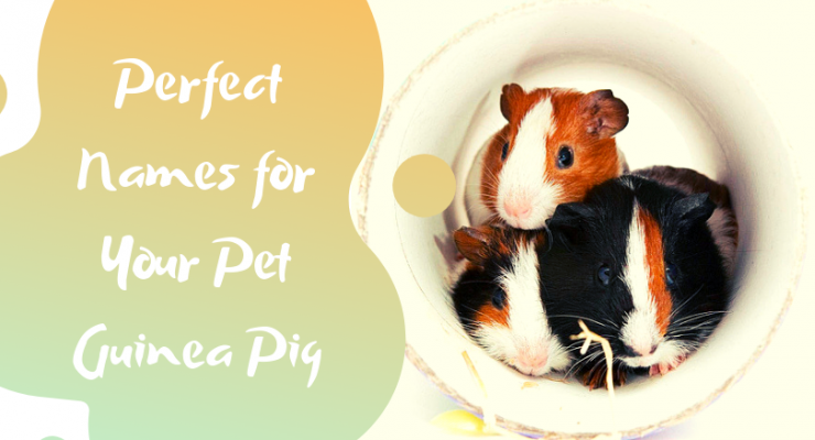 perfect names for your pet guinea pig