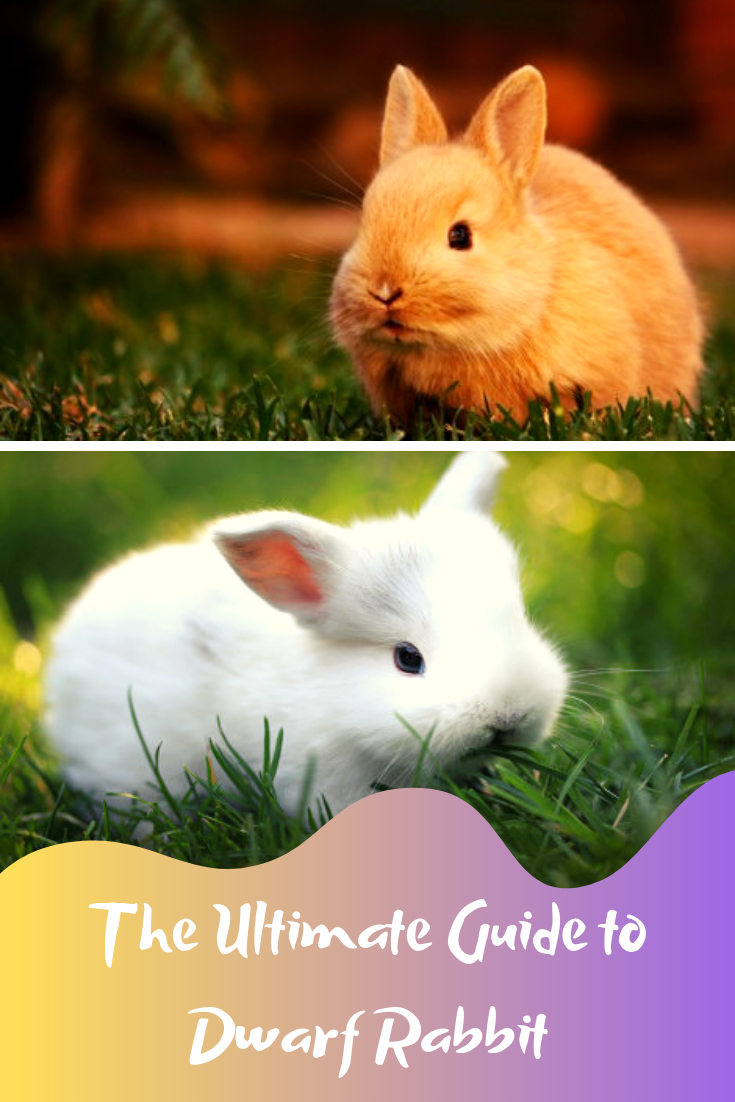 the ultimate guide to dwarf rabbit