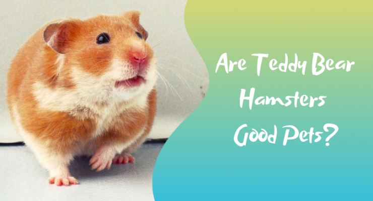 Teddy Bear Hamsters for Pets