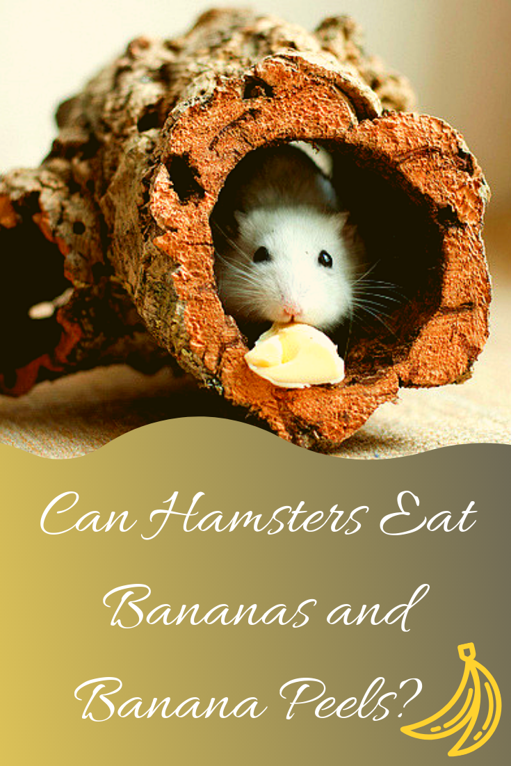 hamster eating banana