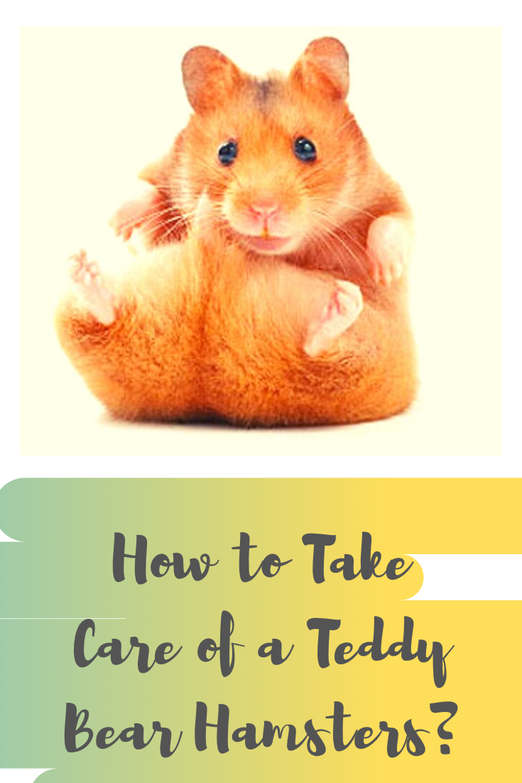 how to take care of a teddy bear hamsters