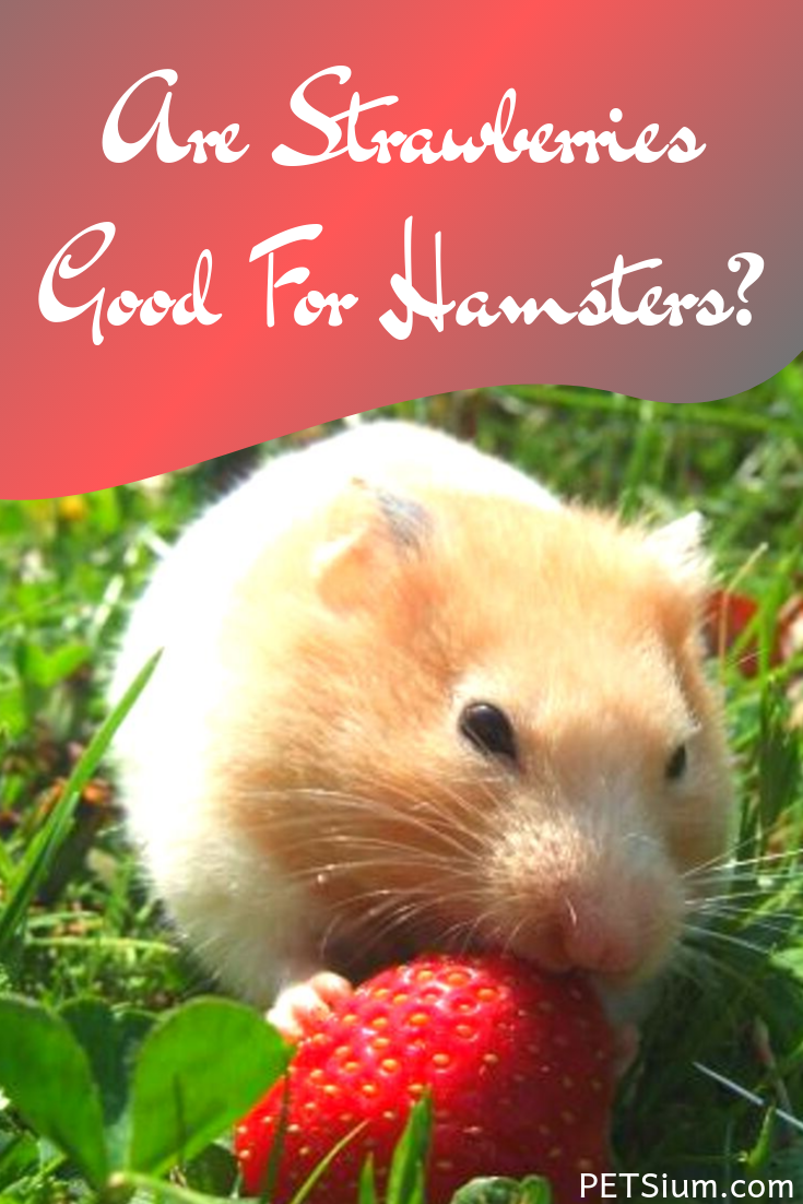 is it safe for hamsters to eat strawberries
