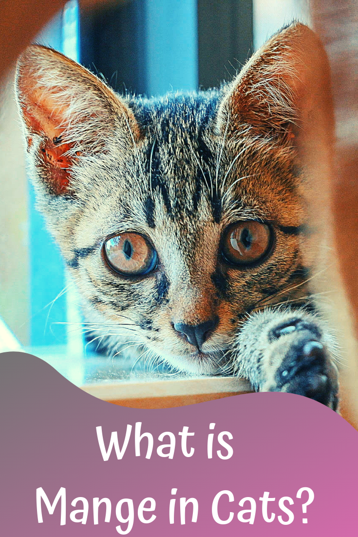 what is mange in cats