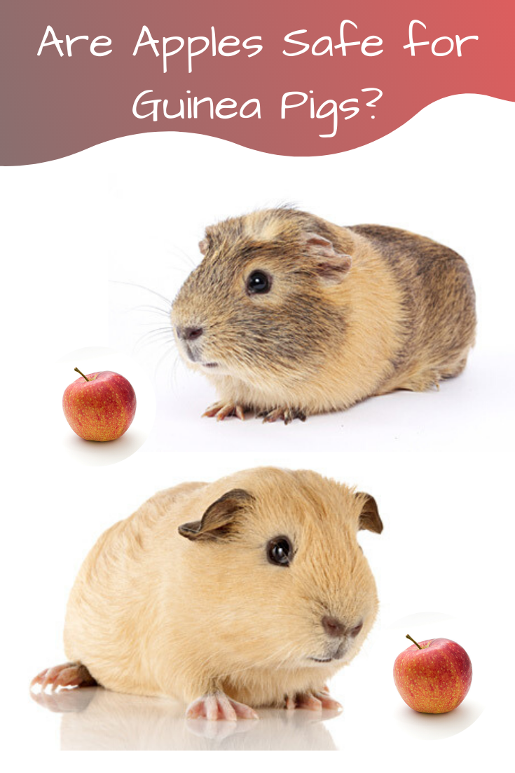 are apples safe for guinea pigs