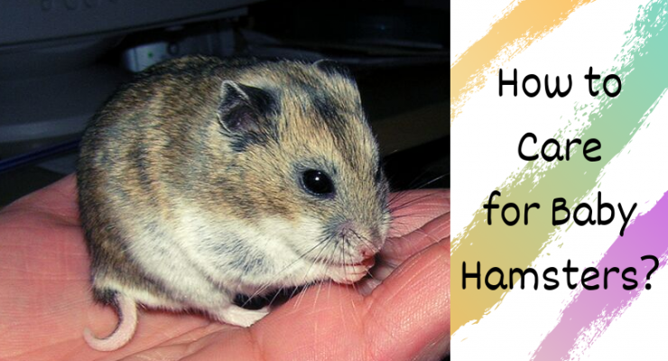 how to care for baby hamsters