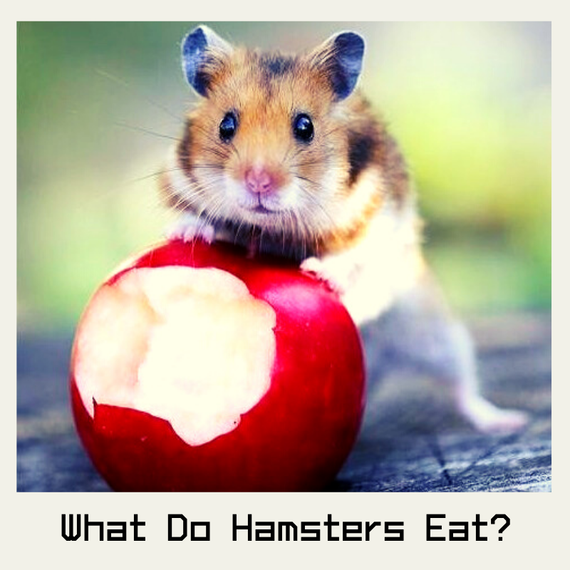 what do hamster eat