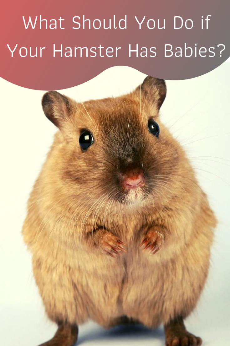 what to do if your hamster has babies