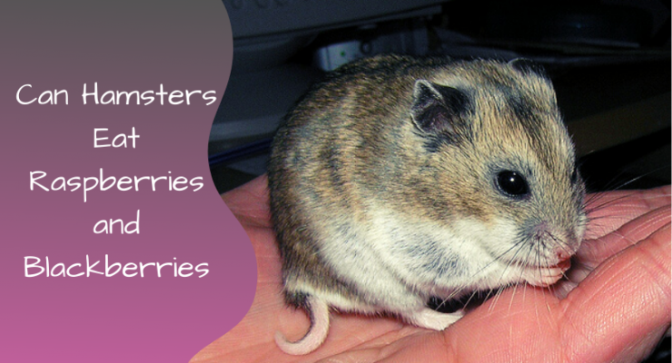can hamsters eat raspberries and blackberries
