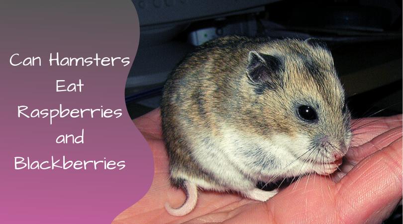 can hamsters eat raspberries and blackberries