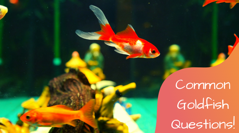 common goldfish questions