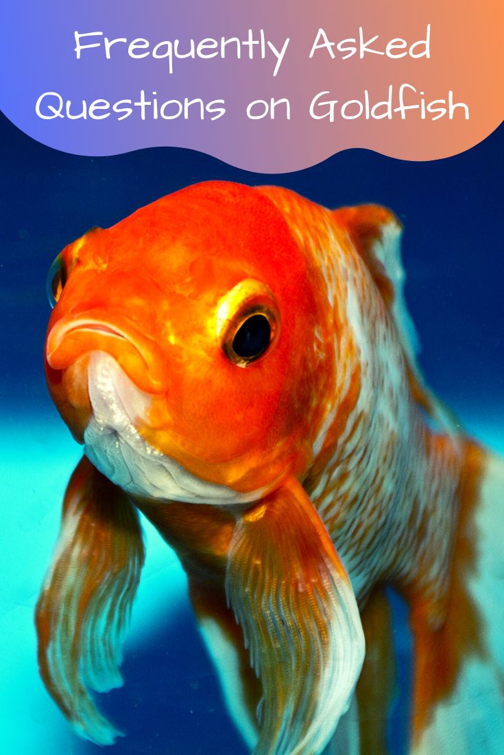 frequently asked questions on goldfish