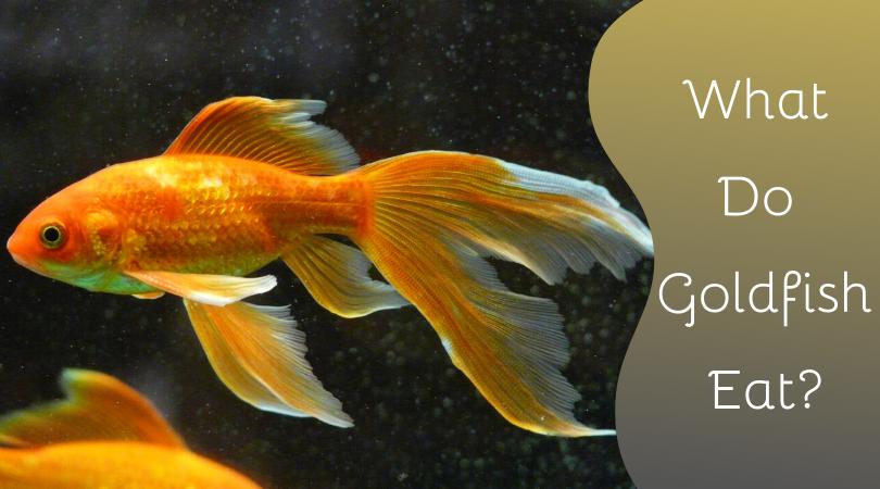 goldfish food and feeding