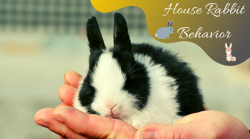 house rabbit behavior