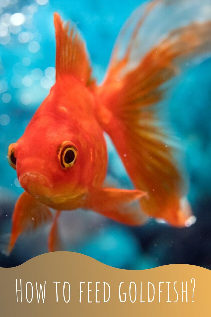 how to feed goldfish properly