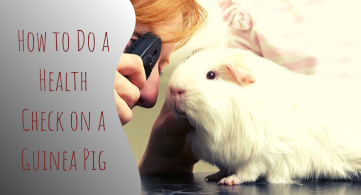 how to do a health check on a guinea pig