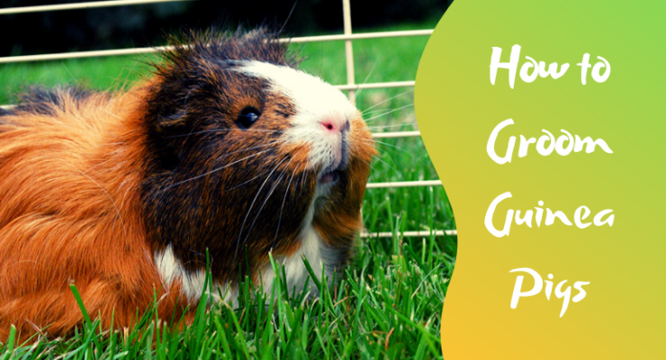 how to groom guinea pigs