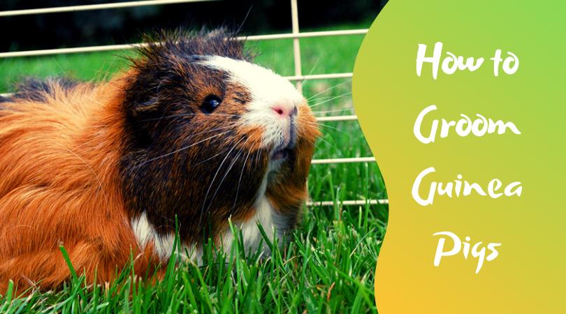 how to groom guinea pigs