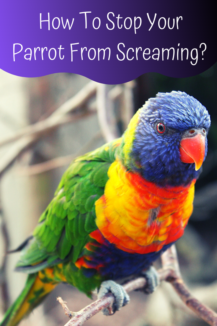 how to stop your parrot from screaming