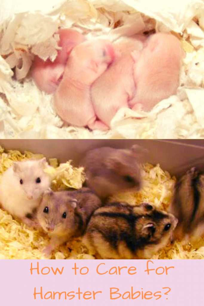 how to care for hamster babies