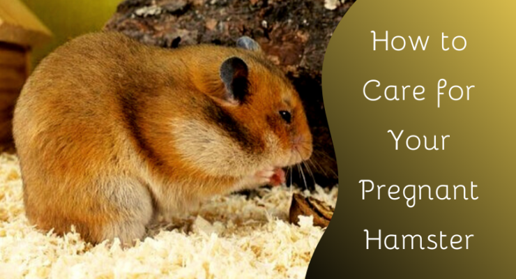 how to care for your pregnant hamster