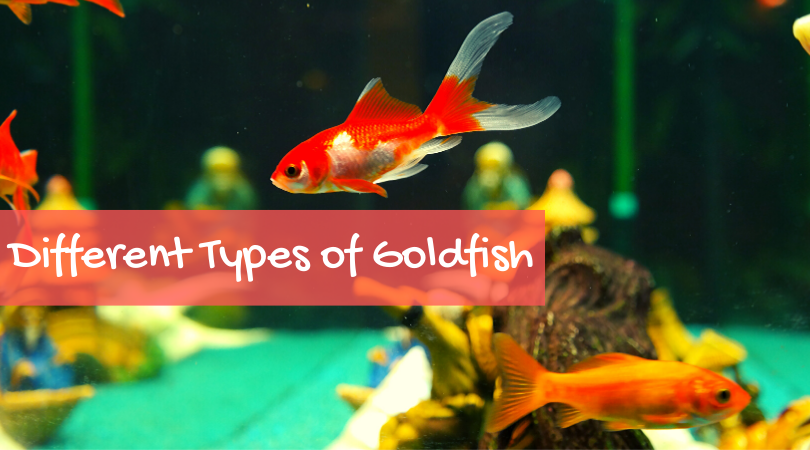 Different Types of Goldfish