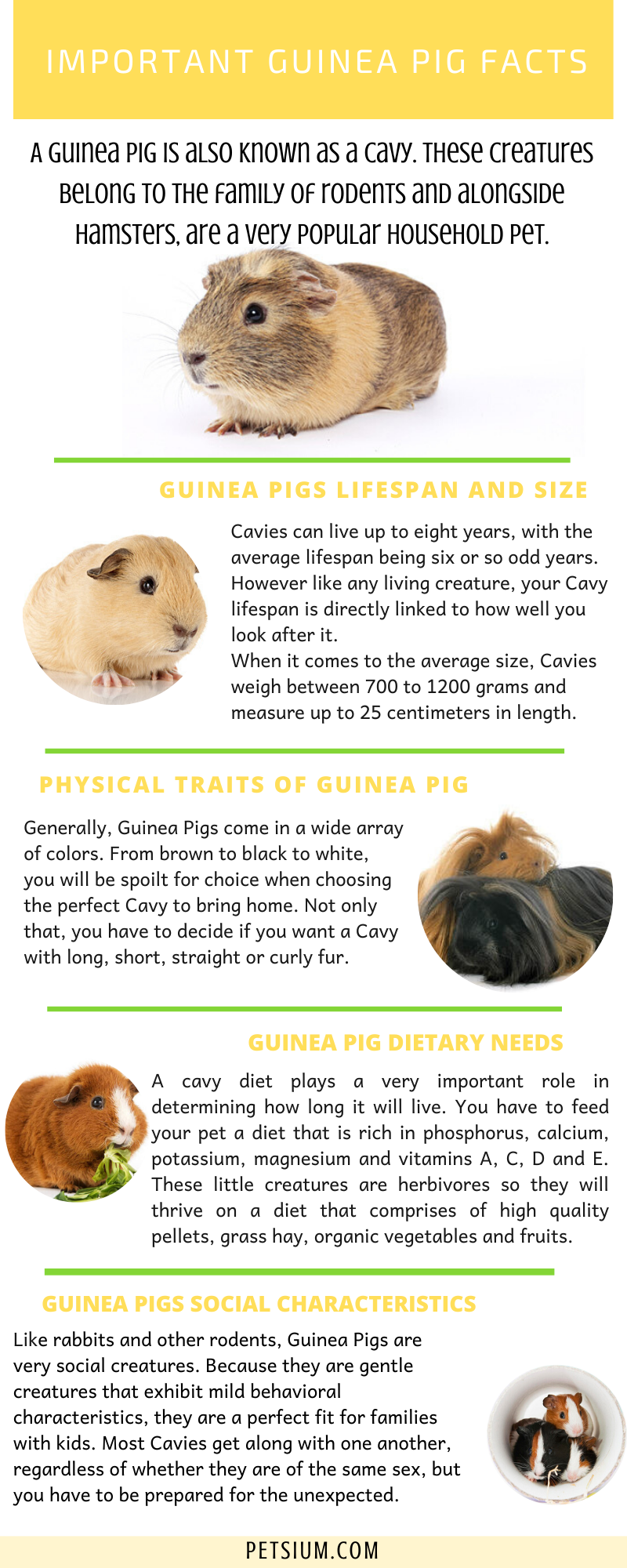 Guinea Pig Facts Infographic