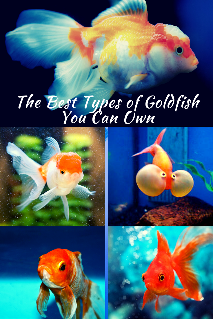 The Best Types of Goldfish You Can Own