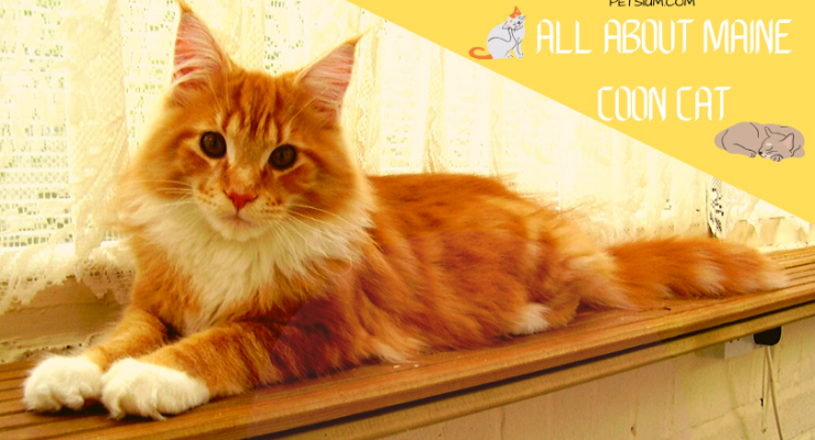 all about maine coon cat