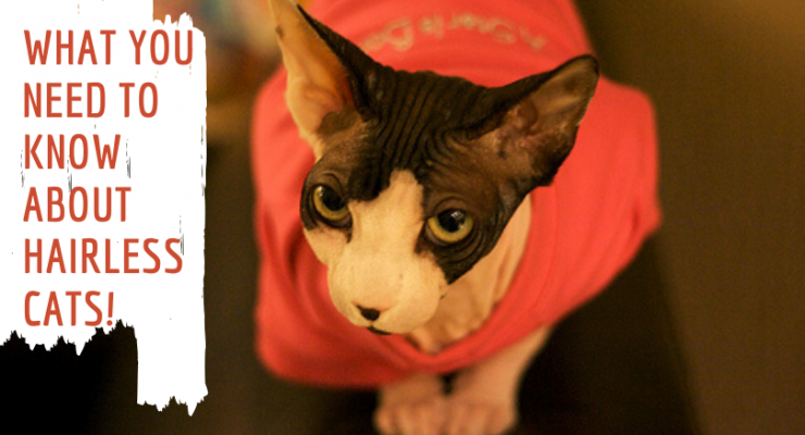 hairless cats facts