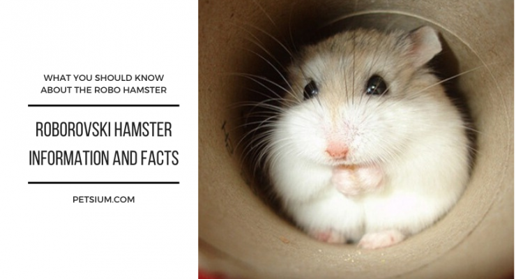 roborovski hamster information and facts