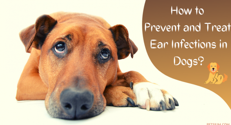 Ear Infection in Dogs