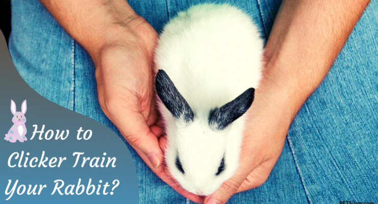 how to clicker train your pet rabbit