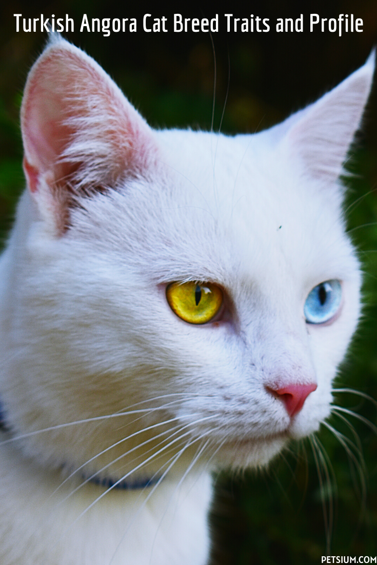 Turkish Angora Cat Breed Traits and Profile