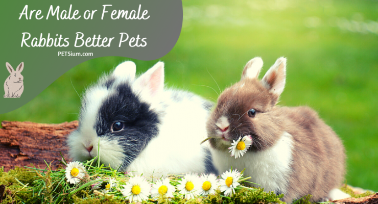 are male or female rabbits better pets